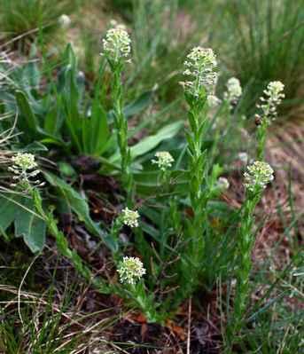 Řeřicha chlumní (Lepidium campestre)