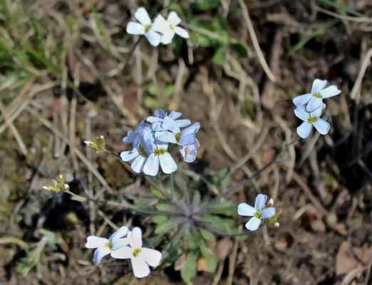 Řeřišničník skalní (Cardaminopsis petraea) - C2r, §1