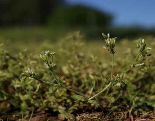 Rožec klubkatý (Cerastium glomeratum)