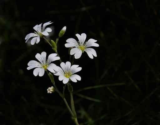 Rožec rolní pravý (Cerastium arvense subsp. arvense)