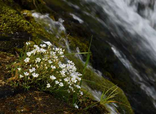 Rožec rolní žláznatý (Cerastium arvense subsp. glandulosum) - u nás neroste (SR)