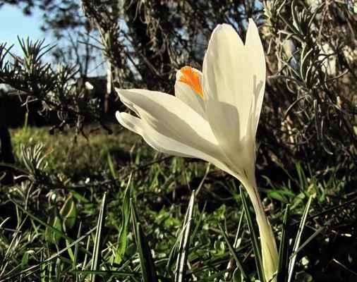 Šafrán bělokvětý (Crocus vernus) - C2r, §2