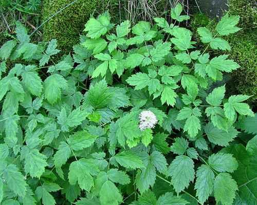 Samorostlík klasnatý (Actaea spicata)