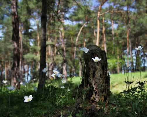 Sasanka lesní (Anemone sylvestris) - C2b, §3