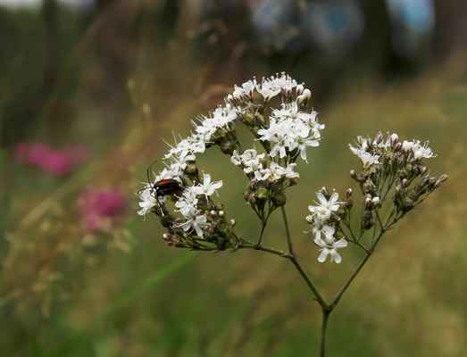 Šater svazčitý (Gypsophila fastigiata) - C2b, §2