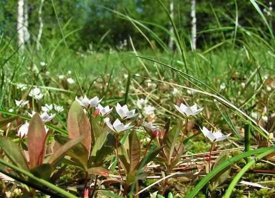 Sedmikvítek evropský (Trientalis europaea) - C4a