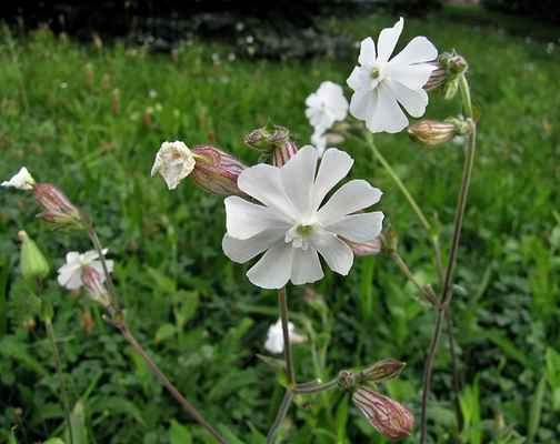 Silenka širolistá bílá (Silene latifolia subsp. alba)