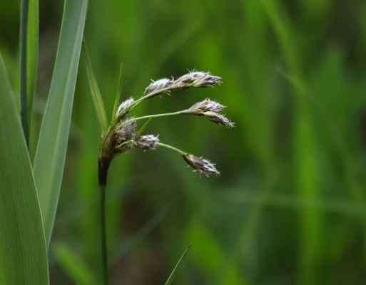 Suchopýr širolistý (Eriophorum latifolium) - C2t
