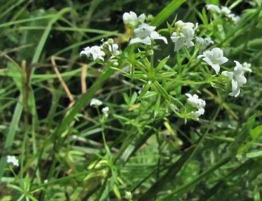 Svízel bahenní (Galium palustre)
