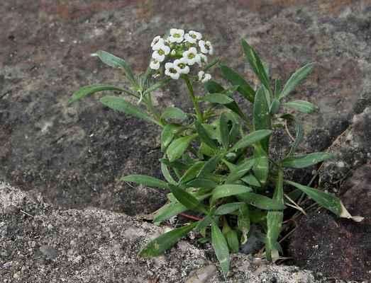 Tařicovka přímořská (Lobularia maritima)