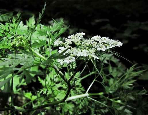 Tetlucha kozí pysk (Aethusa cynapium)