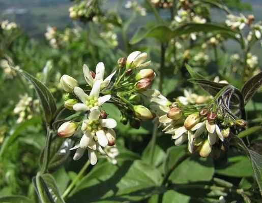 Tolita lékařská (Vincetoxicum hirundinaria)