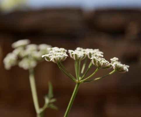 Tořice rolní (Torilis arvensis) - C2t