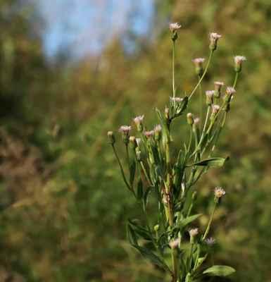 Turan velkolistý (Erigeron macrophyllus) - C4a