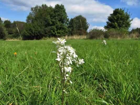 Tužebník obecný (Filipendula vulgaris)