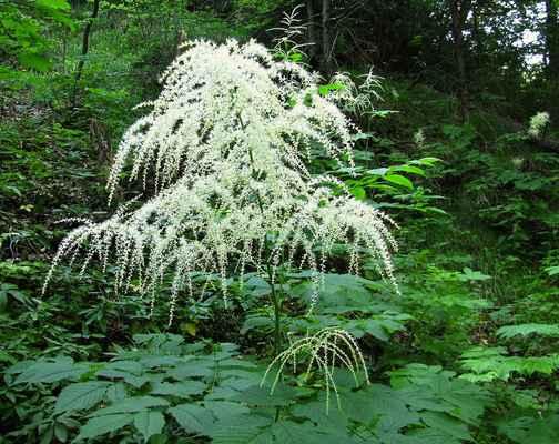 Udatna lesní (Aruncus vulgaris) - C4a