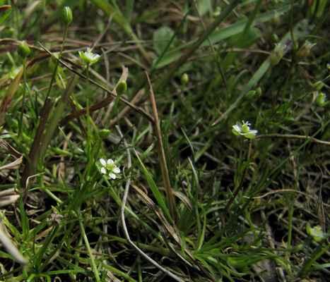 Úrazník skalní (Sagina saginoides) - C2b