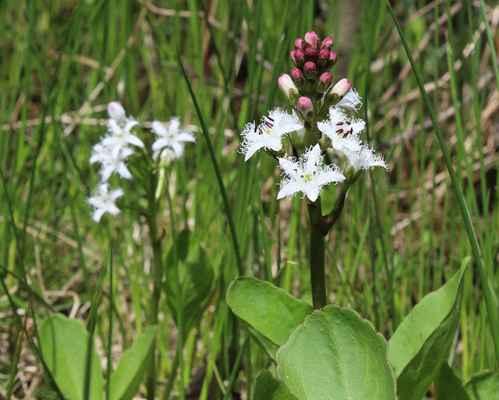 Vachta trojlistá (Menyanthes trifoliata) - C3, §3