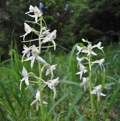 Vemeník dvoulistý (Platanthera bifolia) - C3, §3