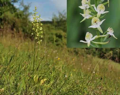 Vemeník zelenavý (Platanthera chlorantha) - C3, §3
