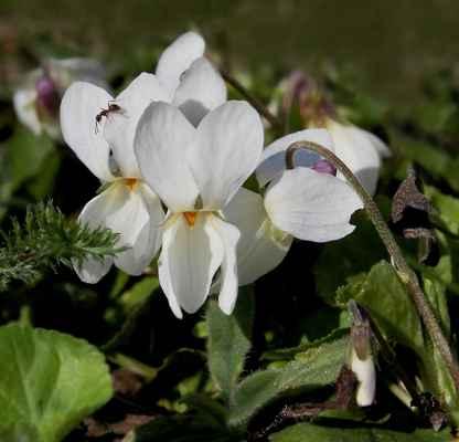Violka křovištní, albín (Viola suavis)