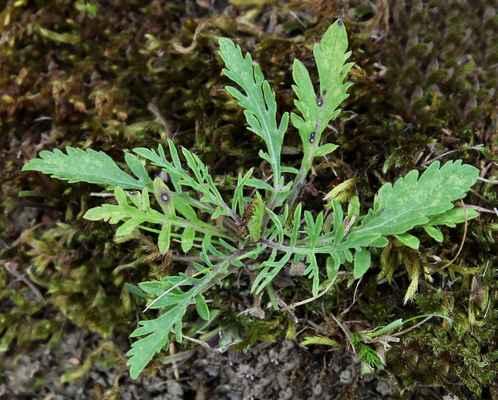 Vranožka šupinatá (Lepidium squamatus) - C2t