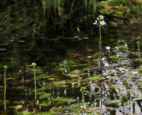 Žebratka bahenní (Hottonia palustris) - C3, §3