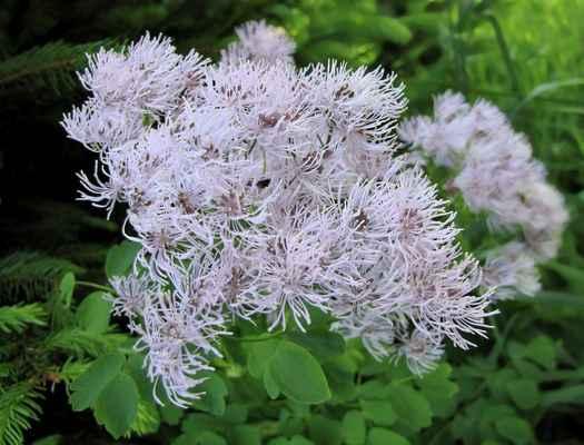 Žluťucha orlíčkolistá (Thalictrum aquilegiifolium)