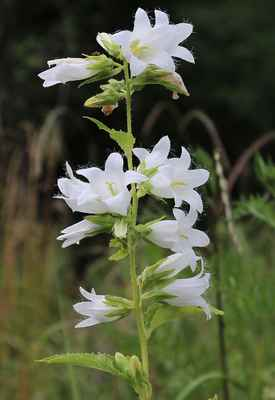 Zvonek kopřivolistý, albín (Campanula trachelium)
