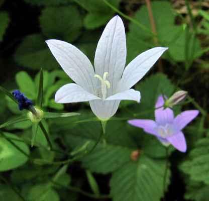 Zvonek rozkladitý, albín (Campanula patula)