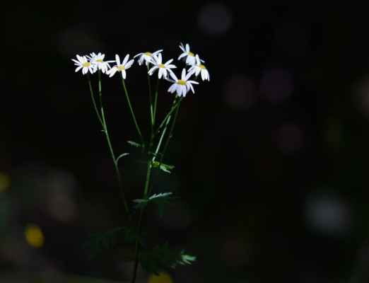 Řimbaba chocholičnatá (Pyrethrum corymbosum)