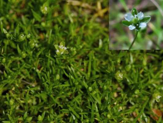 Úrazník položený (Sagina procumbens)