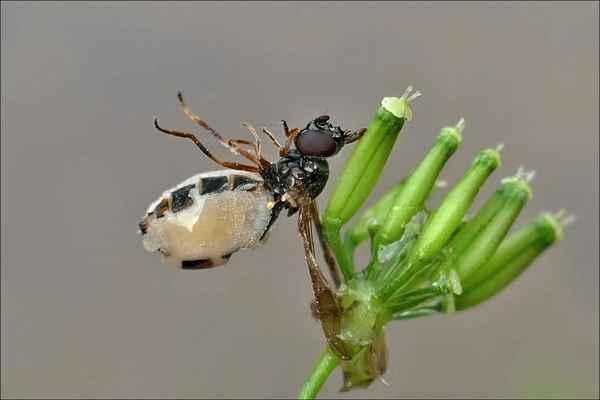 nebožka napadená entomophtorou muscae (Patrik)
