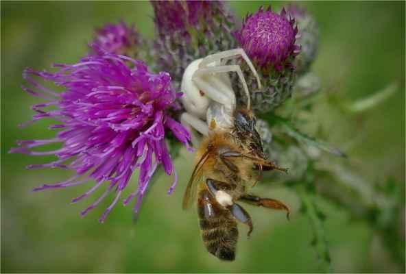 běžník a včela