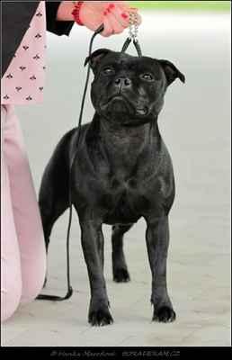 Josephine Goddness Wizard Bull (Adwin Star Sallystaff X Emotion Wizard Bull) - Feny - třída mladých - V1, CAJC, BOJ