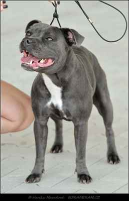 Tarra Staff Winner (Bluedogcity I´m Prince Blue J.R X Kadi Cherry Angelo Custode) - Feny - třída otevřená - VD