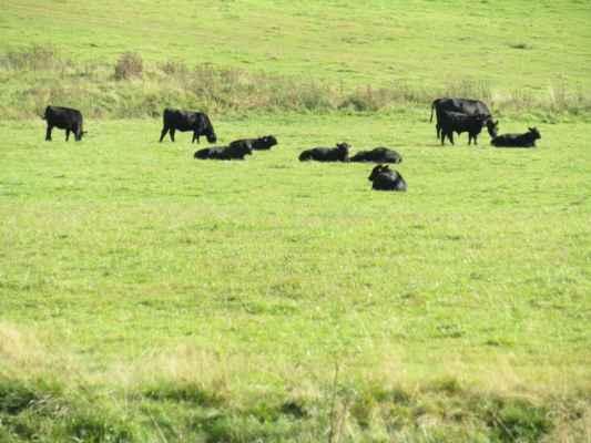 soběsucký chov Angus - Aberdeen-anguský skot je masné plemeno skotu typické bezrohostí a plášťovým zbarvením, zvířata jsou jednolitě černá nebo červenohnědá. Je to jedno z nejvíce chovaných masných plemen na světě