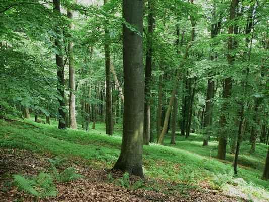 """zdejší """"prales"""" na východní straně kopce už více jak 40 let nepoznal dřevorubce..."""