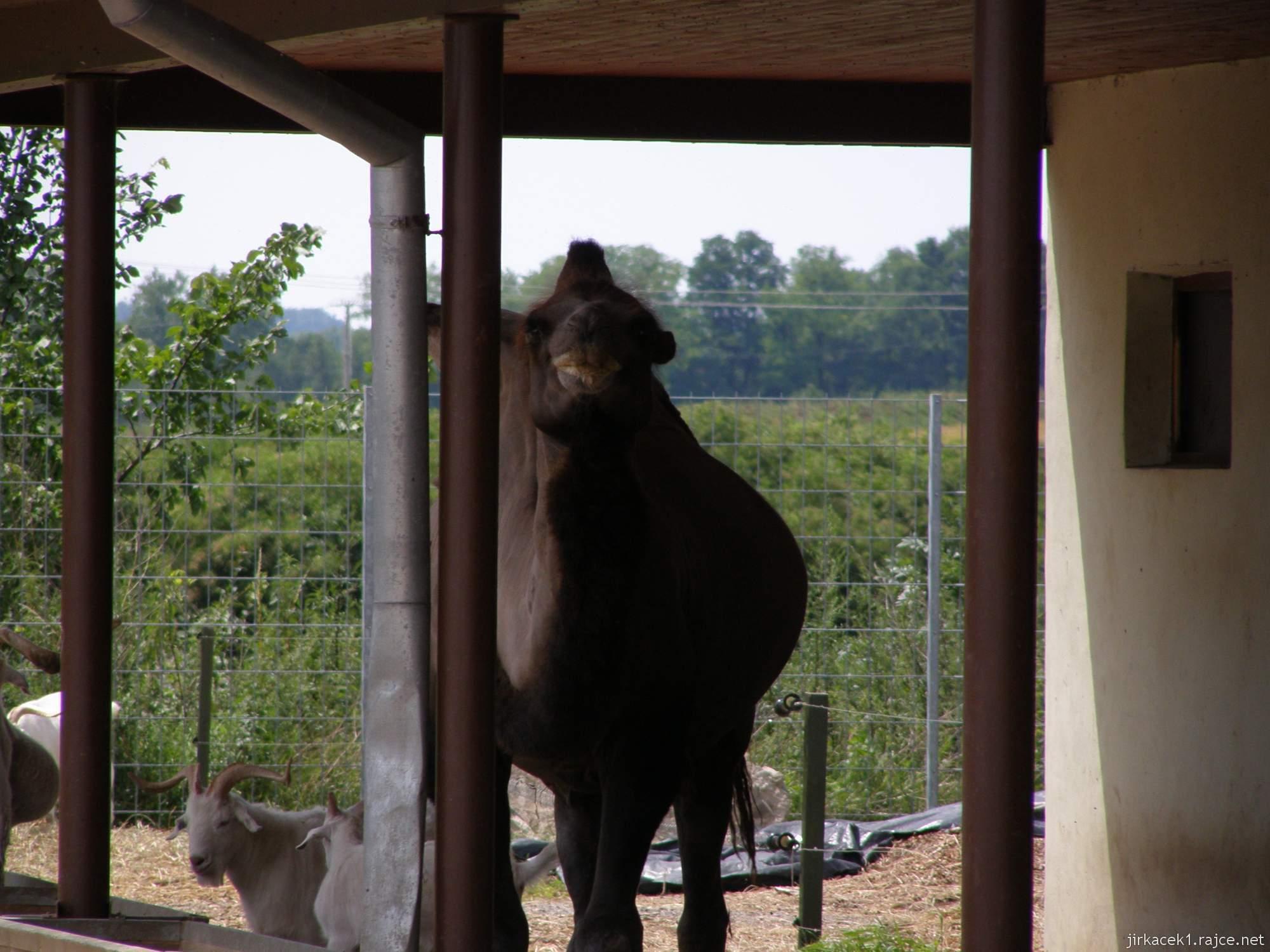 Zoopark Vyškov - velbloud jednohrbý