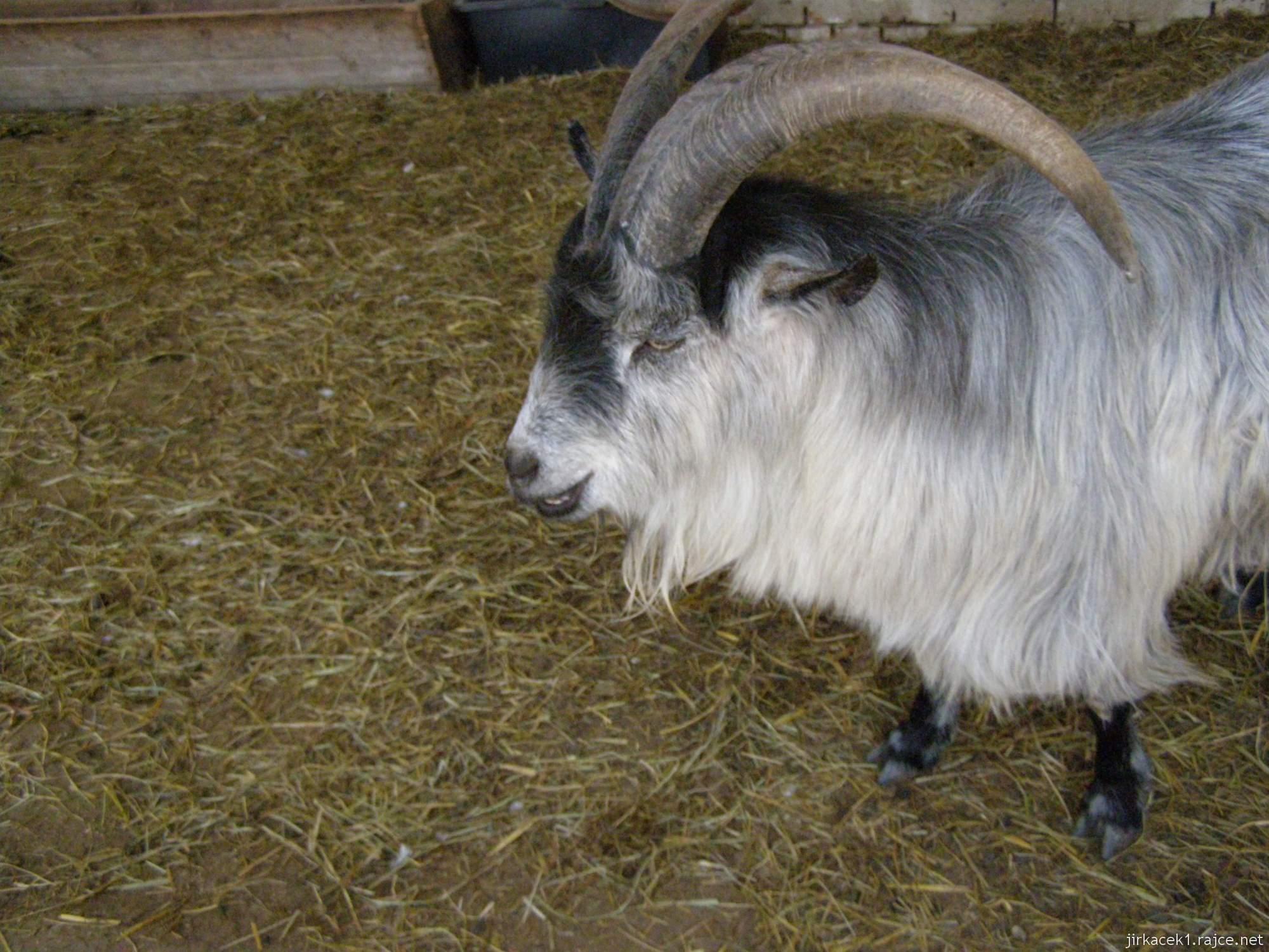 Zoopark Vyškov - babiččin dvoreček - koza